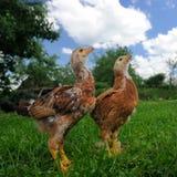 Poulets sur la pelouse verte recherchant photographie stock libre de droits