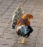 Poulets sur la rue photos stock