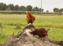 Poulets sur le compost image stock