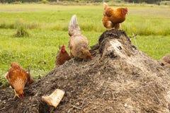 Poulets sur le compost Images libres de droits