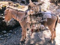 Poulets transportés par la mule de travail Photographie stock libre de droits
