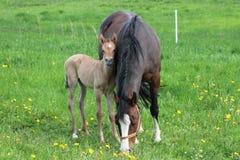 Pouliche et mère Image stock