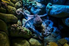 poulpe Image libre de droits