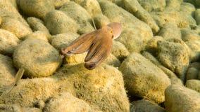 Poulpe commun, la mer Méditerranée Image libre de droits