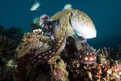 Poulpe de récif (cyaneus de poulpe) Photographie stock