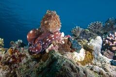 Poulpe de récif (cyaneus de poulpe) Image stock
