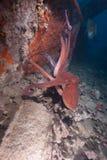 Poulpe de récif (cyaneus de poulpe) Images libres de droits