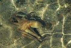Poulpe en mer Image libre de droits