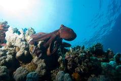 Poulpe et récif coralien Image libre de droits