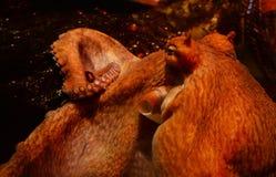 Poulpe géant Photographie stock libre de droits
