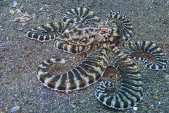 Poulpe imitateur, baie de Sogod, aumônier Burgos, Leyte, Philippines, Asie Image libre de droits