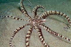 Poulpe imitateur (mimicus de thaumoctopus) en Mer Rouge. images libres de droits