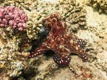 poulpe Marine Life en Mer Rouge Égypte image libre de droits