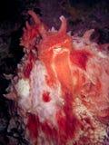 Poulpe Pacifique géant regardant fixement l'appareil-photo Photographie stock libre de droits