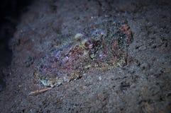Poulpe sur le fond sous-marin Image stock