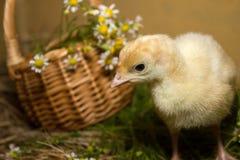 Poult Stock Photo