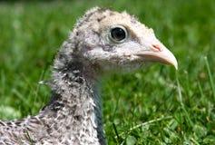 Poult de Turquía Foto de archivo libre de regalías