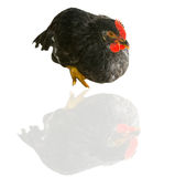 Poultry Stock Photography