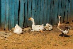 poultry fotos de archivo libres de regalías