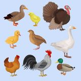 Poultry birds set, duck, rooster, chick, goose, hen, turkey and quail vector Illustrations vector illustration