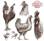 Poultry breeding Royalty Free Stock Image