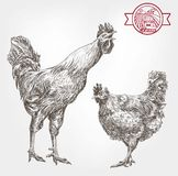Poultry breeding sketches. Poultry breeding. set of sketches made by hand Stock Photography