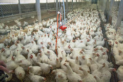 Poultry. Chicken Farm, Poultry in Santa Catrina state, Brazil Stock Images