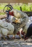 Poultry Stock Images