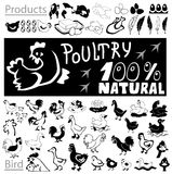 Poultry drawings and icons Stock Images