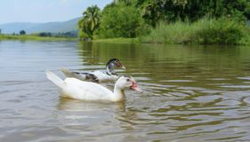 Duck playing in the nature, quiet and beautiful. royalty free stock images