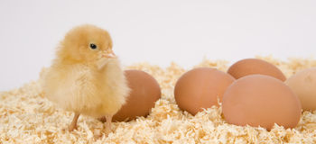 Poultry and Eggs Baby Chick Stands Sawdust Bedding Stock Photography