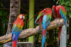 Macaw. Poultry is a family Psittacidae Macaw is a large bird family hookworm. Popular culture because the colors are beautiful, tame and could imitate people Royalty Free Stock Images