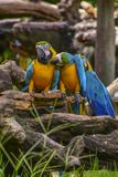 Macaw. Poultry is a family Psittacidae Macaw is a large bird family hookworm. Popular culture because the colors are beautiful, tame and could imitate people Royalty Free Stock Photo