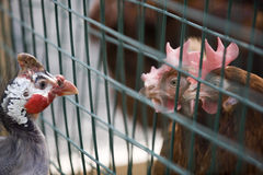 Poultry on a farm. Guinea fowl examines two hens in next birdcage Stock Images