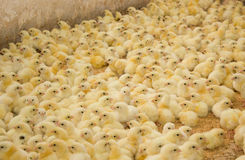 Poultry farm. Chickens broilers at the poultry farm Royalty Free Stock Image