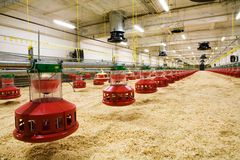 Poultry farm. The modern and new automated integrated poultry farm Stock Image