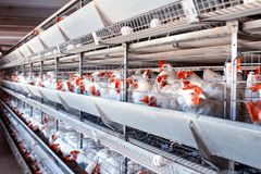 Poultry farm for breeding chickens, chicken eggs go through the transporter, chickens and eggs, industry, farming. Agriculture stock photo