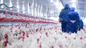 Poultry farm with broiler breeder chicken. Husbandry, housing business for the purpose of farming meat, White chicken Farm feed in indoor housing. Live chicken royalty free stock photos