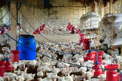 Poultry farm with broiler chicken(fowl). Poultry farm with many domesticated hen(fowl) being grown for their chicken meat, feathers and eggs Royalty Free Stock Photo