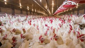 Poultry farm business for the purpose of farming meat. Or eggs for food from, White chicken Farming feed in indoor housing Stock Photo