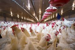 Poultry farm chicken business farm. Poultry farm business for the purpose of farming meat or eggs for food from chicken Farming Royalty Free Stock Images