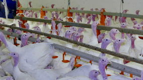 Poultry farm fattening turkeys. Premises at poultry farm for growing broiler turkeys stock video footage