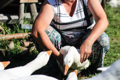 Poultry farm - goose. Poultry farm - an elderly woman in glasses holding a goose in her arms and feeds it Royalty Free Stock Photos