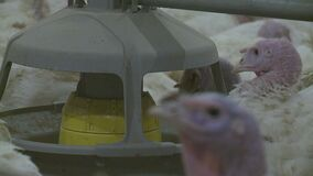 Poultry farm for growing broiler turkeys. Premises at ,video clip stock video footage