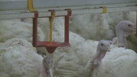 Poultry farm for growing broiler turkeys. Premises at ,video clip stock video
