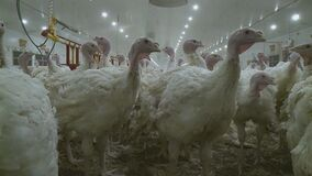 Poultry farm for growing broiler turkeys. Premises at ,video clip stock footage