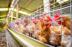 Poultry farm hens and eggs, aviary Royalty Free Stock Photo