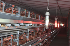 Poultry Farm Stock Images