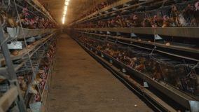 Poultry farm with a lot of birds in the cage. Automatic power supply. The concept of production automation