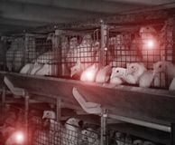 Poultry farm with sick chickens, emidemia and chicken diseases, veterinary stock photography